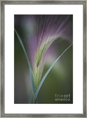 Foxtail Barley Framed Print by Priska Wettstein