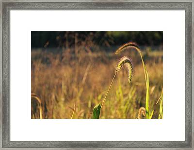 Foxtail Grass - Indian Summer Framed Print by Annette Gendler