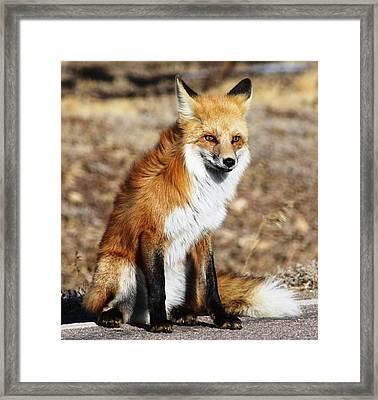 Foxy Framed Print by Shane Bechler