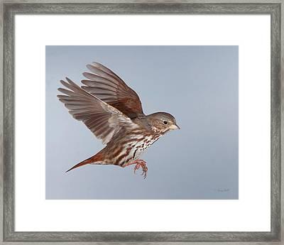 Foxy The Sparrow Framed Print by Gerry Sibell