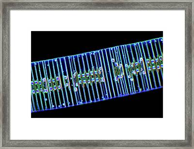 Fragilaria Diatoms Framed Print