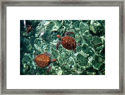 Fragile Underwater World. Sea Turtles In A Crystal Water. Maldives Framed Print