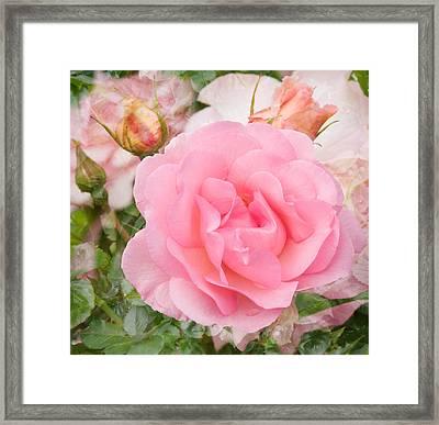 Fragrant Cloud Rose Framed Print