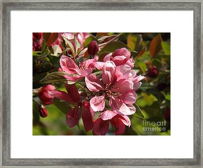 Fragrant Crab Apple Blossoms Framed Print by Brenda Brown
