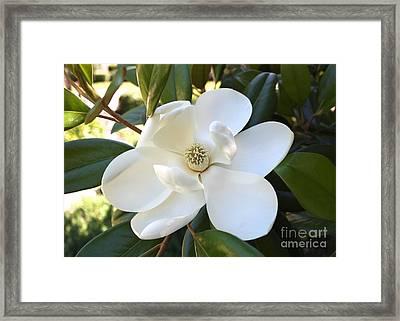 Fragrant Magnolia Framed Print by Carol Groenen