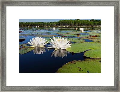 Fragrant Water Lilies On Caddo Lake Framed Print by Larry Ditto