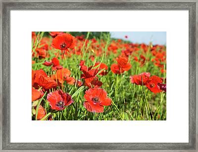 France, Poppy Fields Near St Framed Print