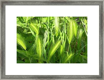 France, St Remy Fields, Wheat Framed Print by Emily Wilson