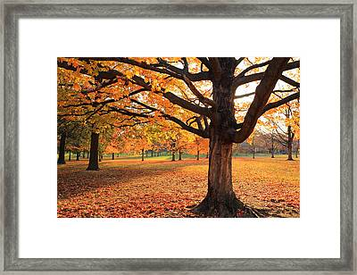 Francis Park Autumn Maple Framed Print