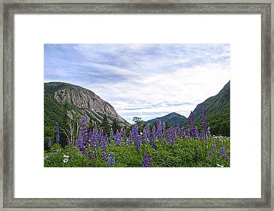 Franconia Lupines Framed Print by Andrea Galiffi