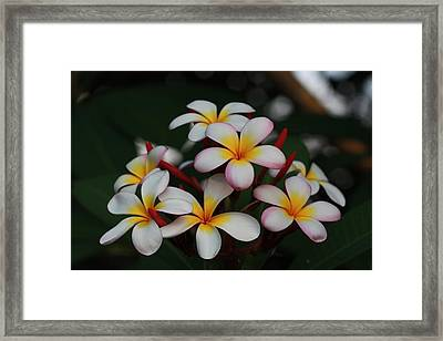 Framed Print featuring the photograph Frangipani Bouquet by Keith Hawley