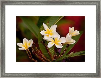 Frangipani - Plumeria Framed Print by Michelle Wrighton