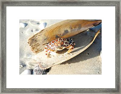 Frank The Spotted Crab Of Anna Maria Framed Print by Margie Amberge