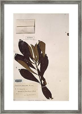 Franklinia Alatamaha Leaves Framed Print by Science Photo Library