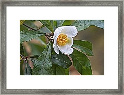 Franklinia Blossom  Framed Print