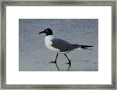 Franklins Gull Framed Print