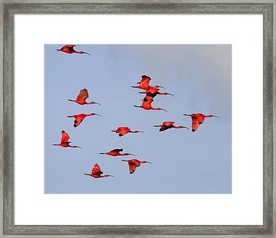 Frankly Scarlet Framed Print by Tony Beck