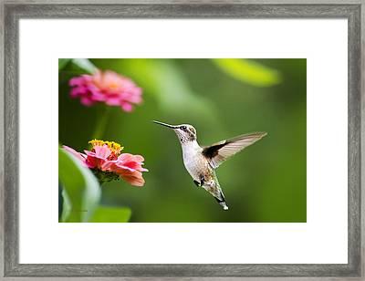 Free As A Bird Hummingbird Framed Print