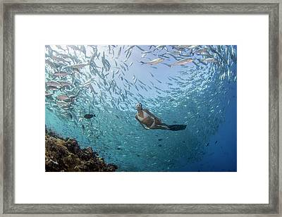 Free Diver In School Of Fish Framed Print
