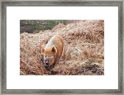 Free Range Pig Framed Print by Ashley Cooper