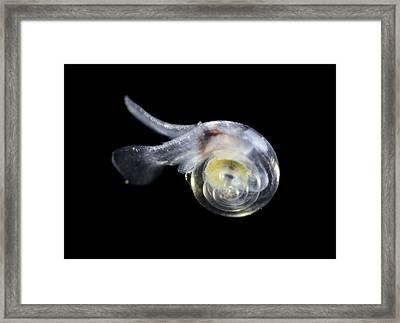 Free-swimming Sea Snail Framed Print