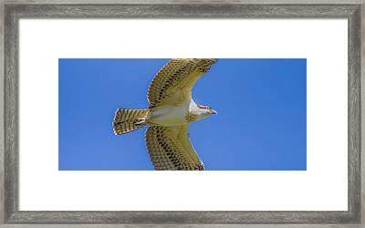 Freedom Flies Framed Print by Laura Bentley