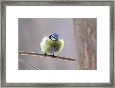 Freezing Blue Tit Framed Print