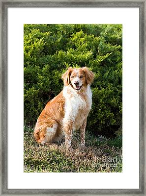 French Brittany Spaniel Framed Print
