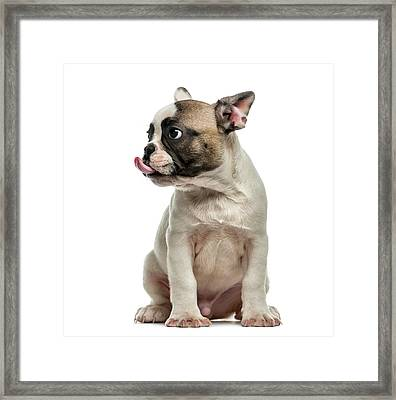 French Bulldog 3 Months Old Framed Print by Life On White
