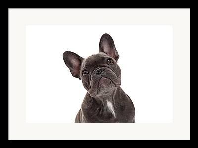 French Bulldog Pup Framed Prints