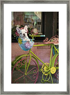 French Bulldog In Bike Basket Framed Print by Lisa Jane