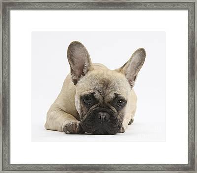 French Bulldog Framed Print by Mark Taylor