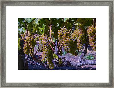 French Colombard Wine Grapes Framed Print