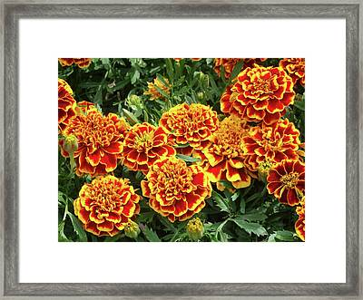 French Marigold 'colossus' (tagetes) Framed Print by D C Robinson