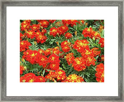 French Marigold 'red Brocade' (tagetes) Framed Print by D C Robinson