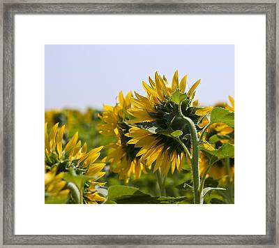French Sunflowers Framed Print by Georgia Fowler