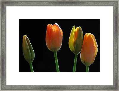 French Tulips Framed Print