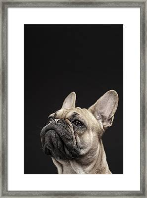 Frenchie Framed Print by Samuel Whitton
