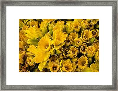 Fresh Daffodils  Framed Print by Garry Gay