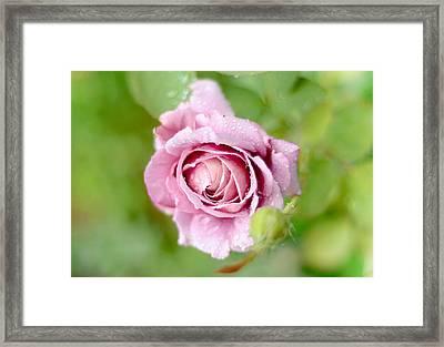 Fresh Morning Rose Framed Print by Jenny Rainbow