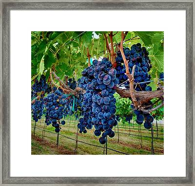 Fresh On The Vine Framed Print by Kristina Deane