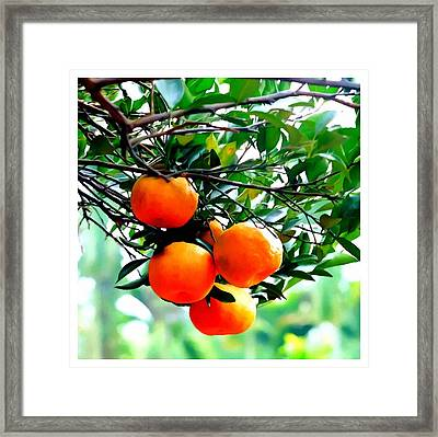 Fresh Orange On Plant Framed Print by Lanjee Chee