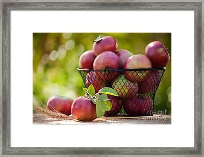 Fresh Picked Apples Framed Print by Cindy Singleton