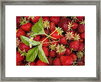 Fresh Picked Strawberries Framed Print by Elena Elisseeva