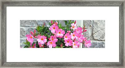 Fresh Pink Flowers Blossom Supporting The Tiled Wall Nature Natural Gardens   Framed Print