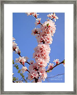 Fresh Pink Framed Print by Irfan Gillani