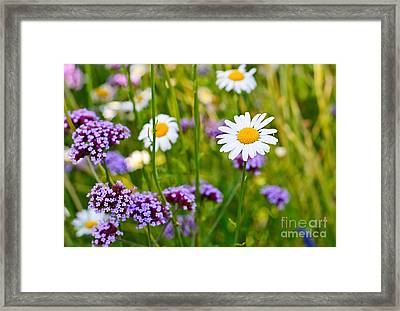 Fresh - Pretty Daisy Bellis Perennis Among A Field With Purple Flowers Framed Print