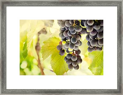 Fresh Ripe Grapes Framed Print by Mythja  Photography