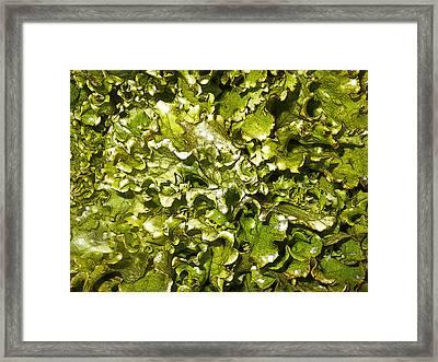 Fresh Romaine Framed Print by Sherry Dooley