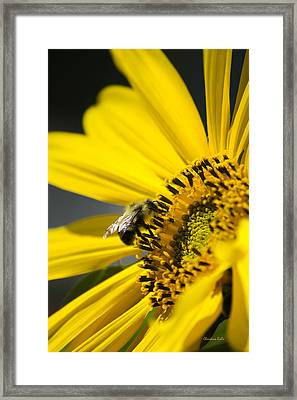 Sunflower And Bee Framed Print by Christina Rollo